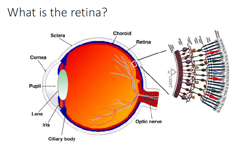 What is the retina?